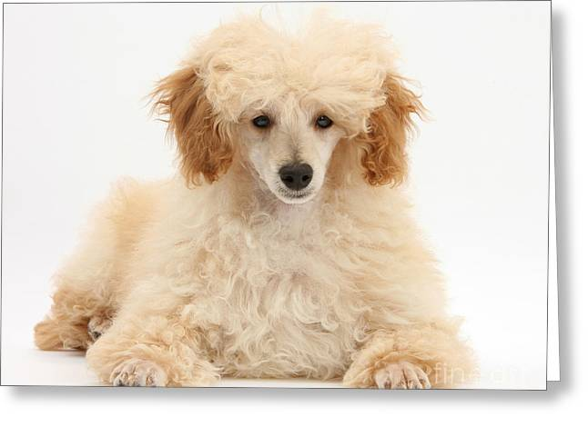 Apricot Greeting Cards - Apricot Toy Poodle Greeting Card by Mark Taylor