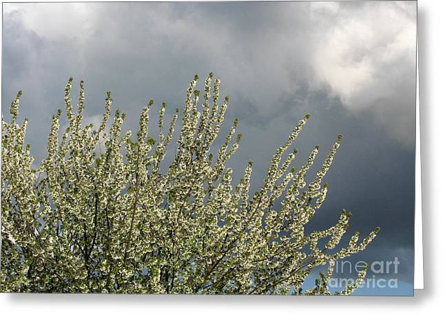 April Showers Greeting Cards - April Blossom Greeting Card by John Chatterley