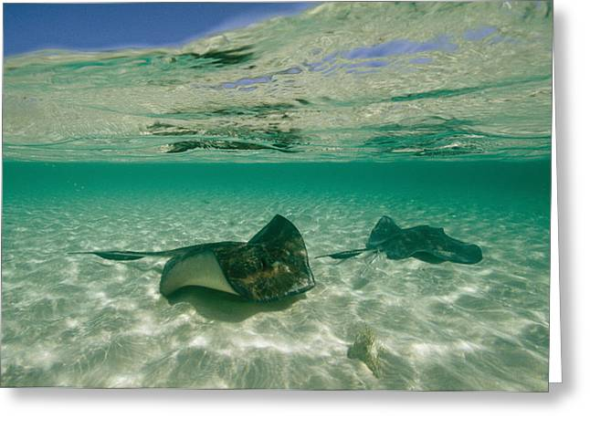 Southern Stingrays Greeting Cards - Aquatic Split-level View Of Two Greeting Card by Wolcott Henry