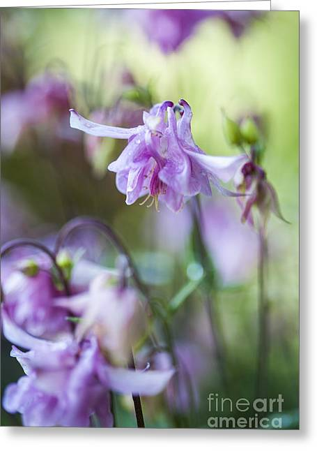 Urban Garden Greeting Cards - Aquilegia Greeting Card by Donald Davis