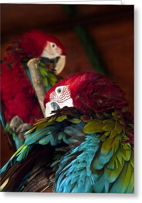 Tropical Wildlife Greeting Cards - Ara Greeting Card by Ivan Vukelic