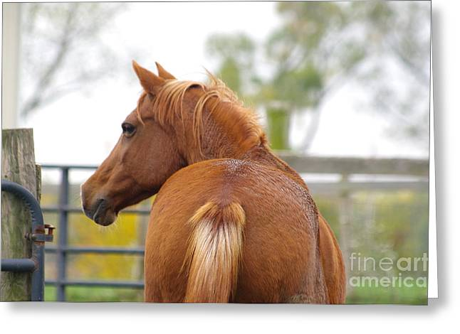 Caballo. Fence Greeting Cards - Arabian Horse 02 Greeting Card by J M Lister
