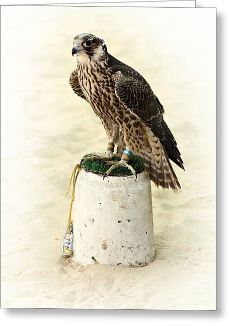Falcon Hunting Greeting Cards - Arabian hunting falcon Greeting Card by Paul Cowan