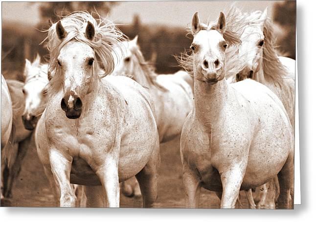 Equestrian Prints Greeting Cards - Arabian mares home run Greeting Card by El Luwanaya Arabians