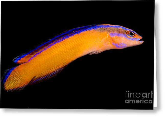 Reef Fish Greeting Cards - Arabian Pseudochromis Greeting Card by Danté Fenolio