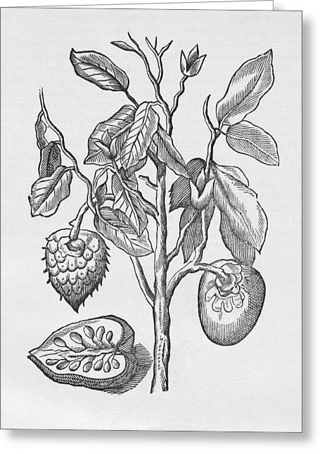 Soursop Greeting Cards - Araticum Ape, Annona Montana, Artwork Greeting Card by Middle Temple Library