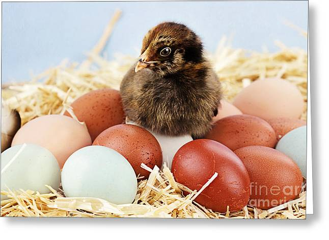 Chicken On Eggs Greeting Cards - Araucana Chick and Eggs Greeting Card by Stephanie Frey