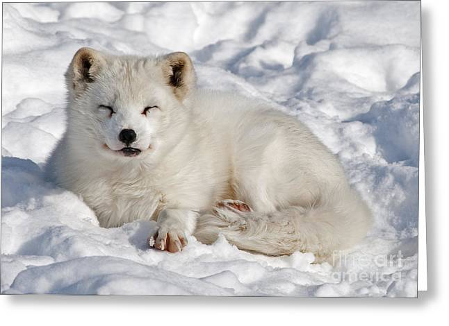 Montebello Greeting Cards - Arctic Fox... Greeting Card by Nina Stavlund