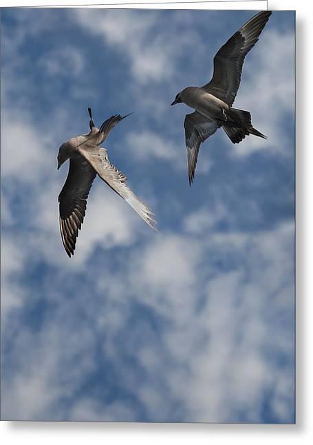 Sea Birds Greeting Cards - Arctic Skuas Greeting Card by Andy Astbury