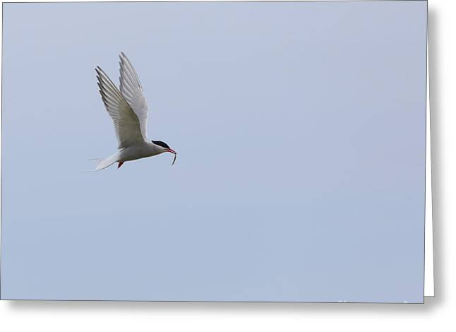 Arctic Terns Greeting Cards - Arctic tern Greeting Card by Louise Heusinkveld