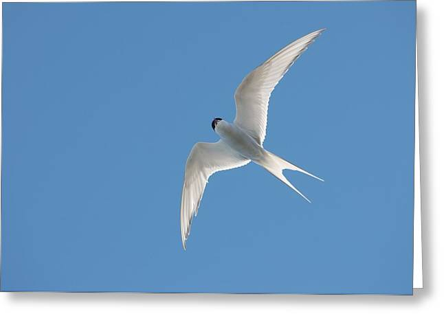 Arctic Terns Greeting Cards - Arctic Tern Greeting Card by Louise Murray
