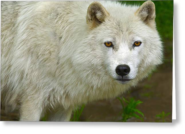 Arctic Wolf Greeting Cards - Arctic Wolf Greeting Card by Tony Beck