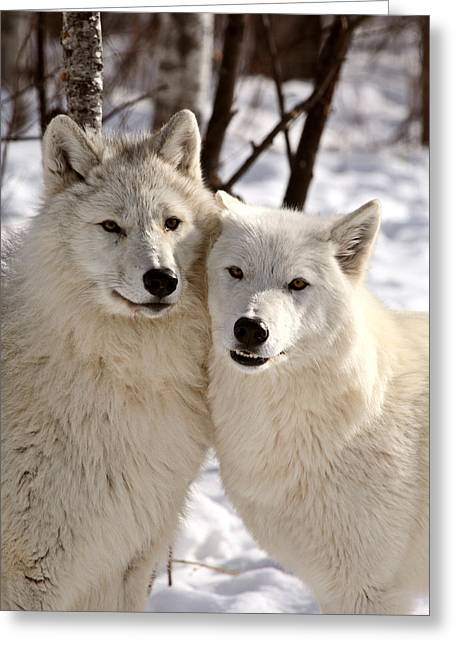Arctic Wolf Greeting Cards - Arctic Wolves close together in winter Greeting Card by Mark Duffy