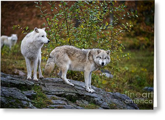 Wolves Greeting Cards - Arctic Wolves Greeting Card by Michael Cummings