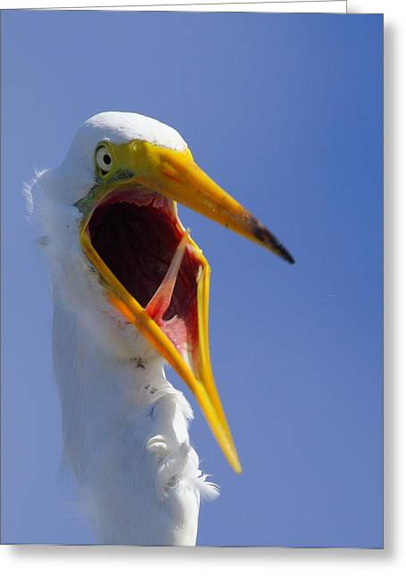 Great Egret Greeting Cards - Are You Serious Greeting Card by Andrew McInnes