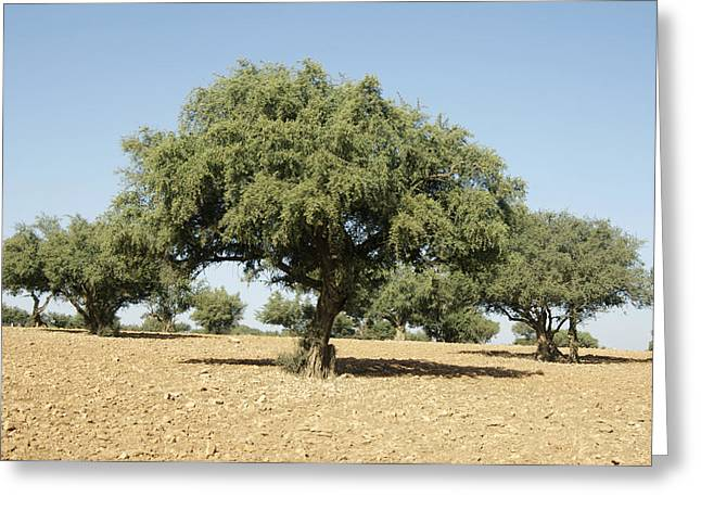 Desertification Greeting Cards - Argan Trees (argania Spinosa) Greeting Card by Johnny Greig