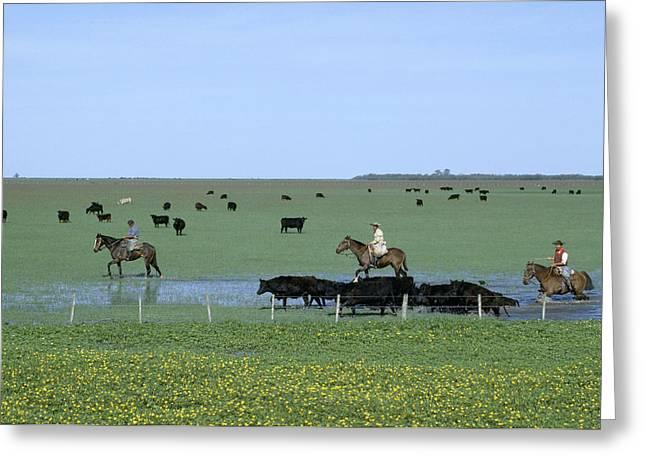 Argentine Gauchos, Or Cowboys, Herd Greeting Card by James P. Blair