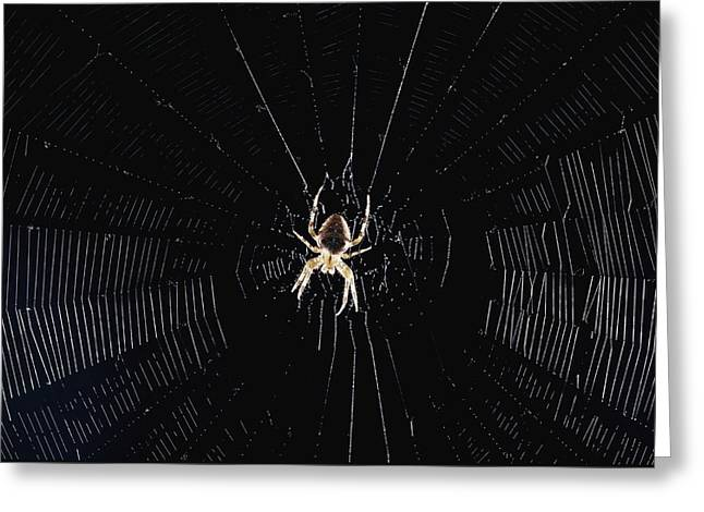 Hump Greeting Cards - Argiope Orb Weaver On An Intricately Greeting Card by Paul Zahl