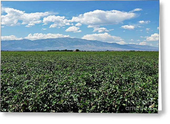 """cotton Field"" Greeting Cards - Arizona Cotton Field Greeting Card by Methune Hively"