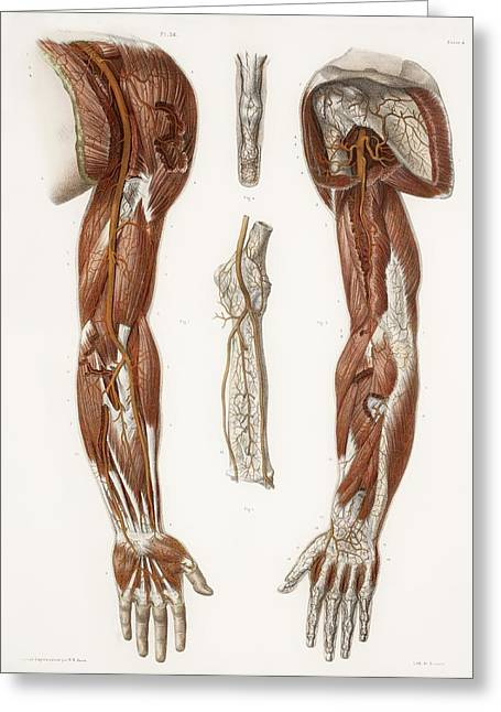 Hand-colored Lithograph Greeting Cards - Arm Anatomy, Historical Artwork Greeting Card by