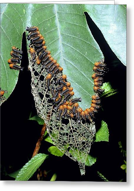 Larvae Greeting Cards - Army Of Leaf Beetle Larvae Greeting Card by Dr Morley Read