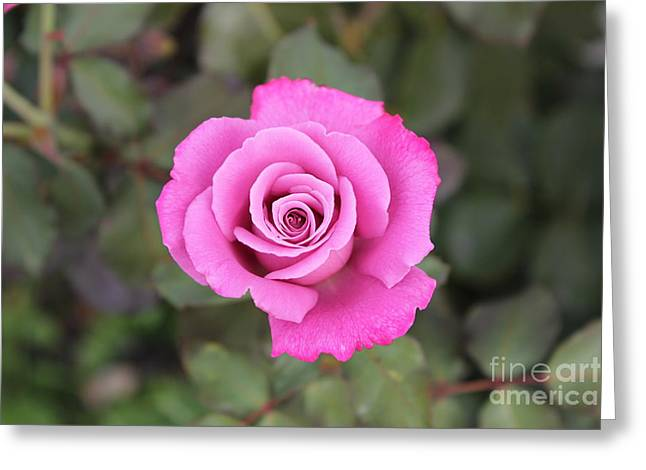 Setting Framed Prints Greeting Cards - Arose-atherapy Greeting Card by Scenesational Photos