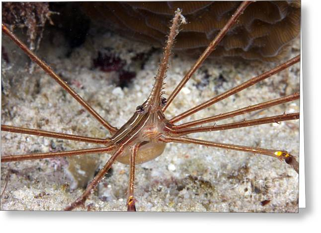 Undersea Photography Greeting Cards - Arrow Crab Carries Her Eggs Greeting Card by Terry Moore