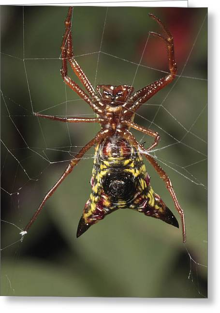 Frederick Greeting Cards - Arrow Shaped Micrathena Spider Greeting Card by George Grall