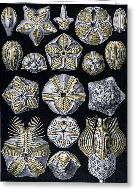 Reproductive Greeting Cards - Artforms of Nature Greeting Card by Ernst Haeckel