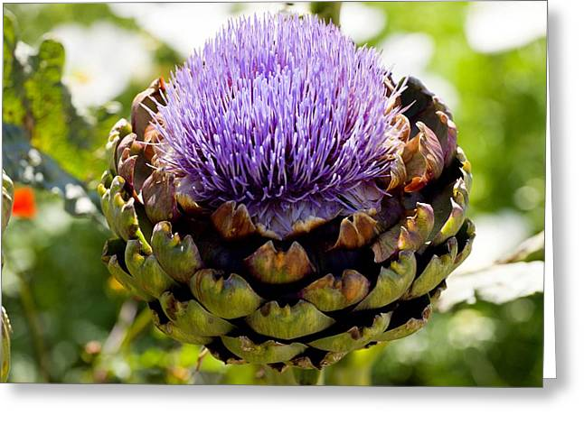 Concerto Greeting Cards - Artichoke (cynara concerto F1) Greeting Card by Dr Keith Wheeler