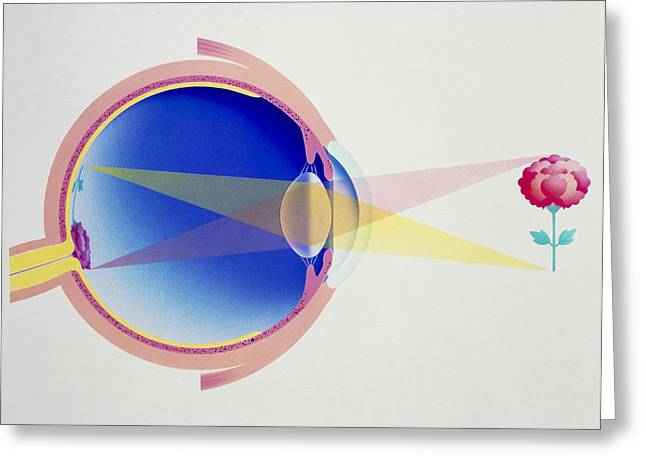 Eyesight Greeting Cards - Artwork Of Eye In Section Demonstrating Vision Greeting Card by Hans-ulrich Osterwalder