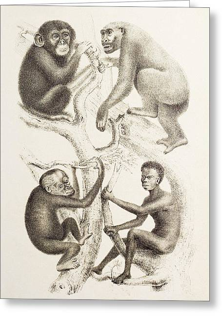 Genealogy Photographs Greeting Cards - Artwork Of Four Apes, 1874 Greeting Card by Mehau Kulyk