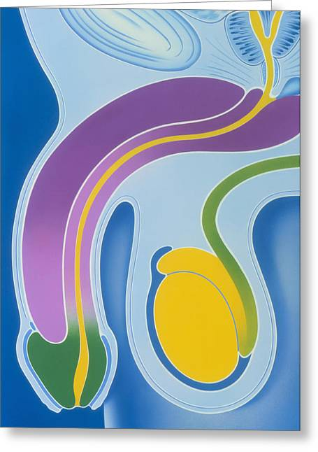 Penis Greeting Cards - Artwork Of Male Genitalia (penis & Testes) Greeting Card by John Bavosi