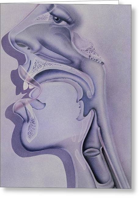 Nasal Cavity Greeting Cards - Artwork Of The Nose, Mouth And Throat In Profile Greeting Card by Hans-ulrich Osterwalder