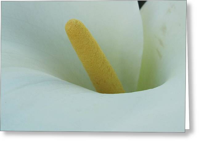 Arum Lily Greeting Cards - Arum Lily Greeting Card by Vijay Sharon Govender