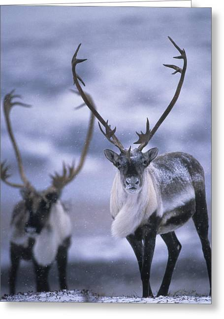 Northwest Territories Greeting Cards - As The Weather Becomes Cooler Greeting Card by Paul Nicklen