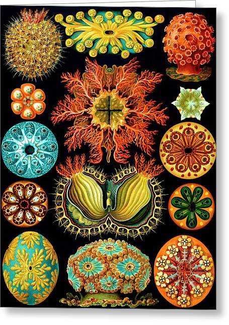 Motivational Poster Drawings Greeting Cards - Ascidiacea Sea Squirts Greeting Card by Ernst Haeckel