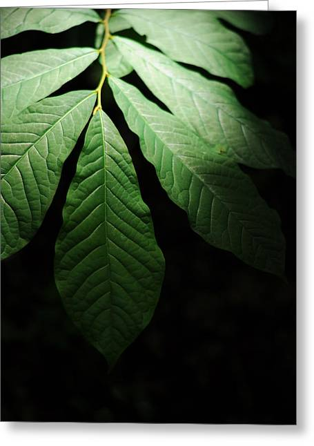 Eastern United States Greeting Cards - Asimina Triloba Foliage Greeting Card by Rebecca Sherman
