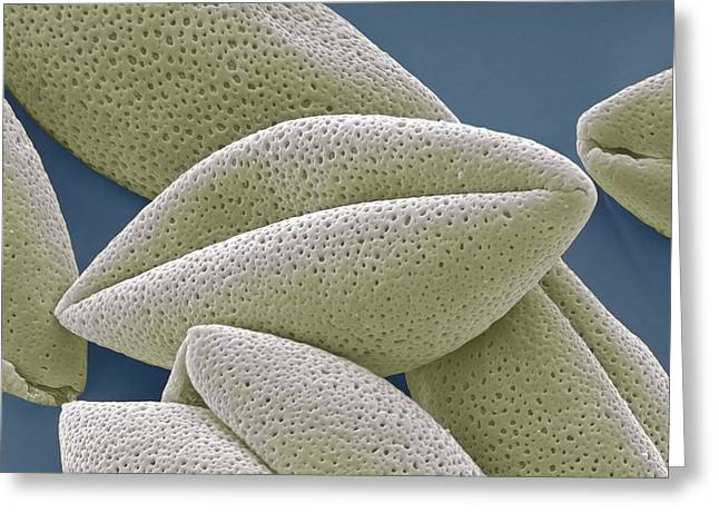 Asparagus Pollen Grains, Sem Greeting Card by Steve Gschmeissner