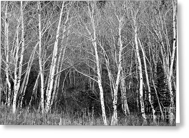 Black And White Nature Landscapes Greeting Cards - Aspen Forest Black and White Print Greeting Card by James BO  Insogna