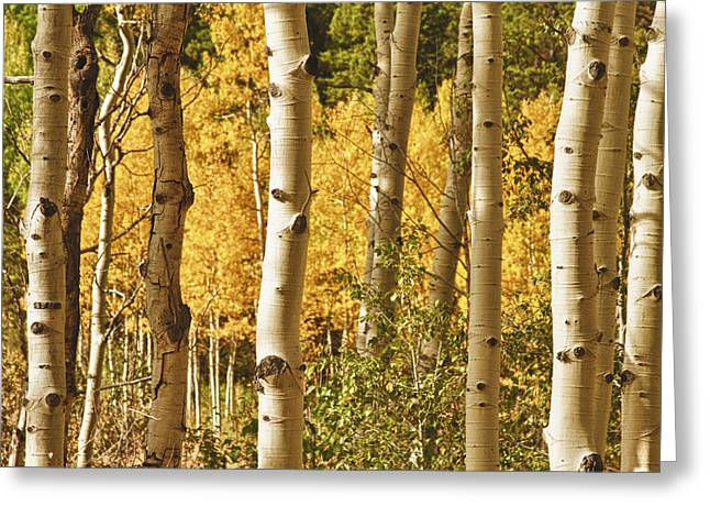 Rocky Mountain Posters Greeting Cards - Aspen Gold Greeting Card by James BO  Insogna
