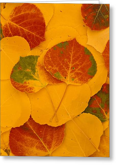 Kachina Greeting Cards - Aspen Leaves, Fall Color, Kachina Peaks Greeting Card by Ralph Lee Hopkins