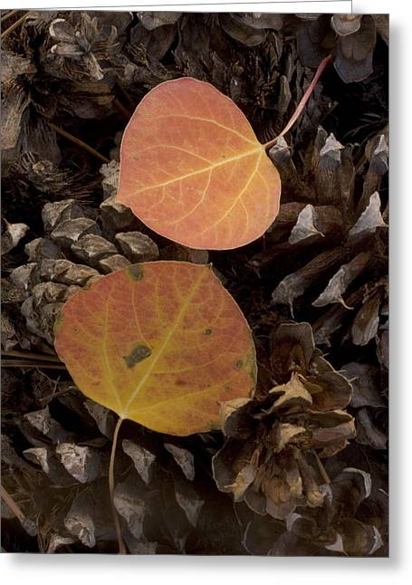 Pine Cones Greeting Cards - Aspen Leaves On Pine Cones In The Fall Greeting Card by Phil Schermeister