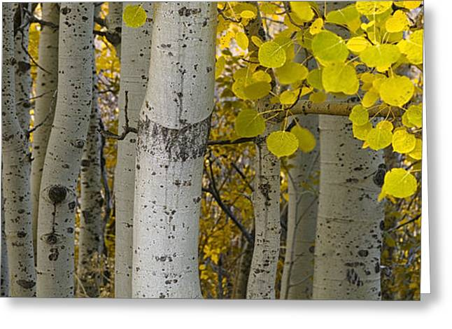 Autumn Photographs Greeting Cards - Aspen Panorama Greeting Card by Andrew Soundarajan