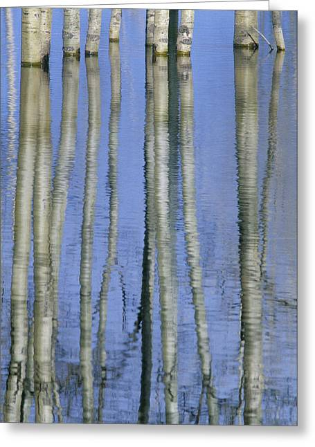 Flooding Greeting Cards - Aspen Poplar Trees Reflected In Spring Greeting Card by Darwin Wiggett