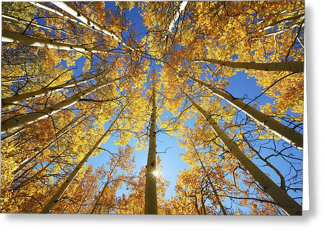 Illuminated Greeting Cards - Aspen Tree Canopy 2 Greeting Card by Ron Dahlquist - Printscapes