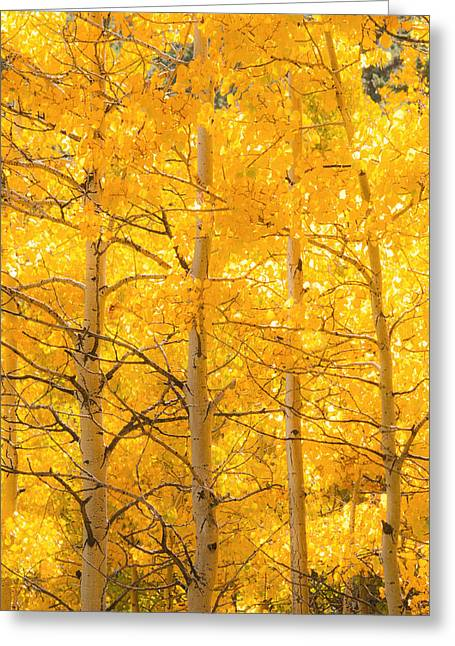 Quaking Aspen Greeting Cards - Aspen Tree Glow Greeting Card by Bronze Riser