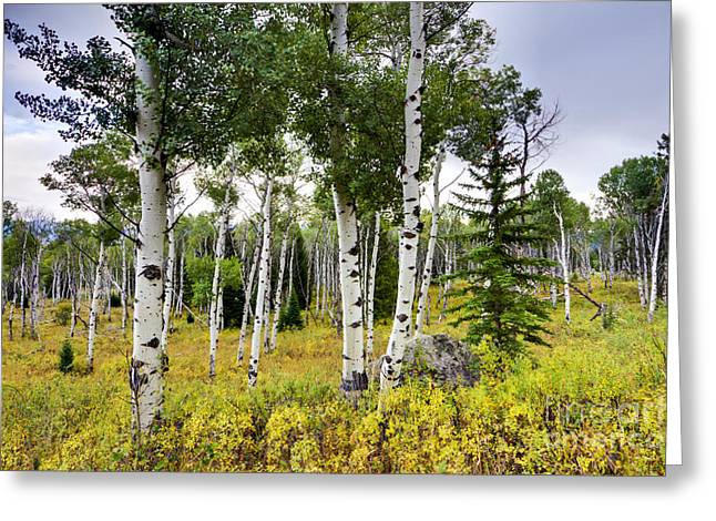 Fall Colors Greeting Cards - Aspen Trees in Jackson Hole Wyoming Greeting Card by Dustin K Ryan
