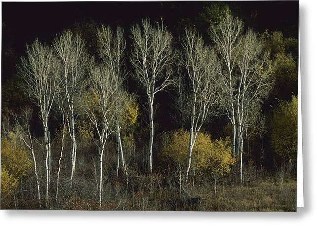 Woodland Scenes Greeting Cards - Aspen Trees Stand Barren Late Greeting Card by Joel Sartore