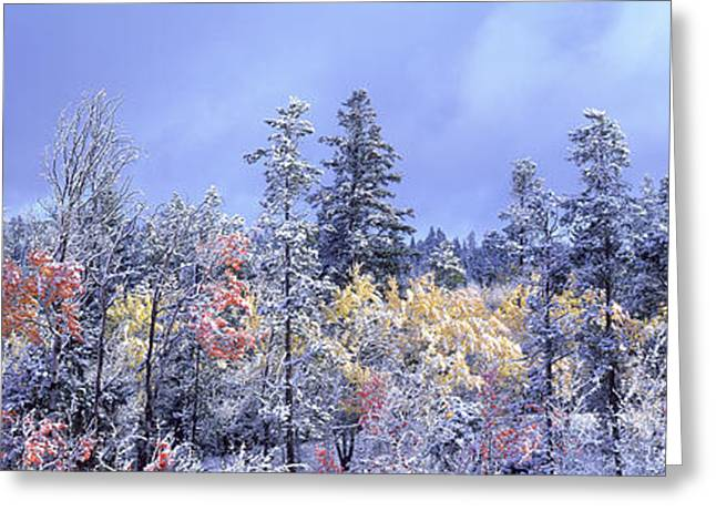 Aspens In Fall With Snow, Near 100 Mile Greeting Card by David Nunuk